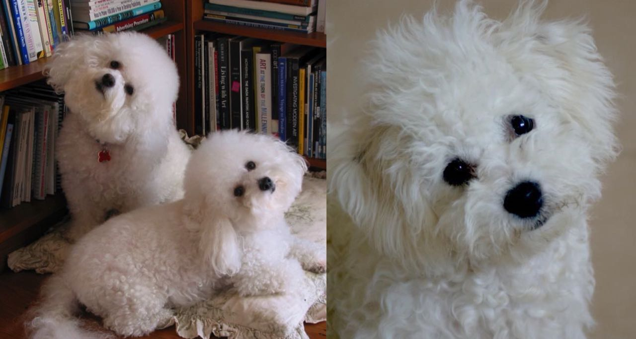 According To Science This Is What It Means When Bichon