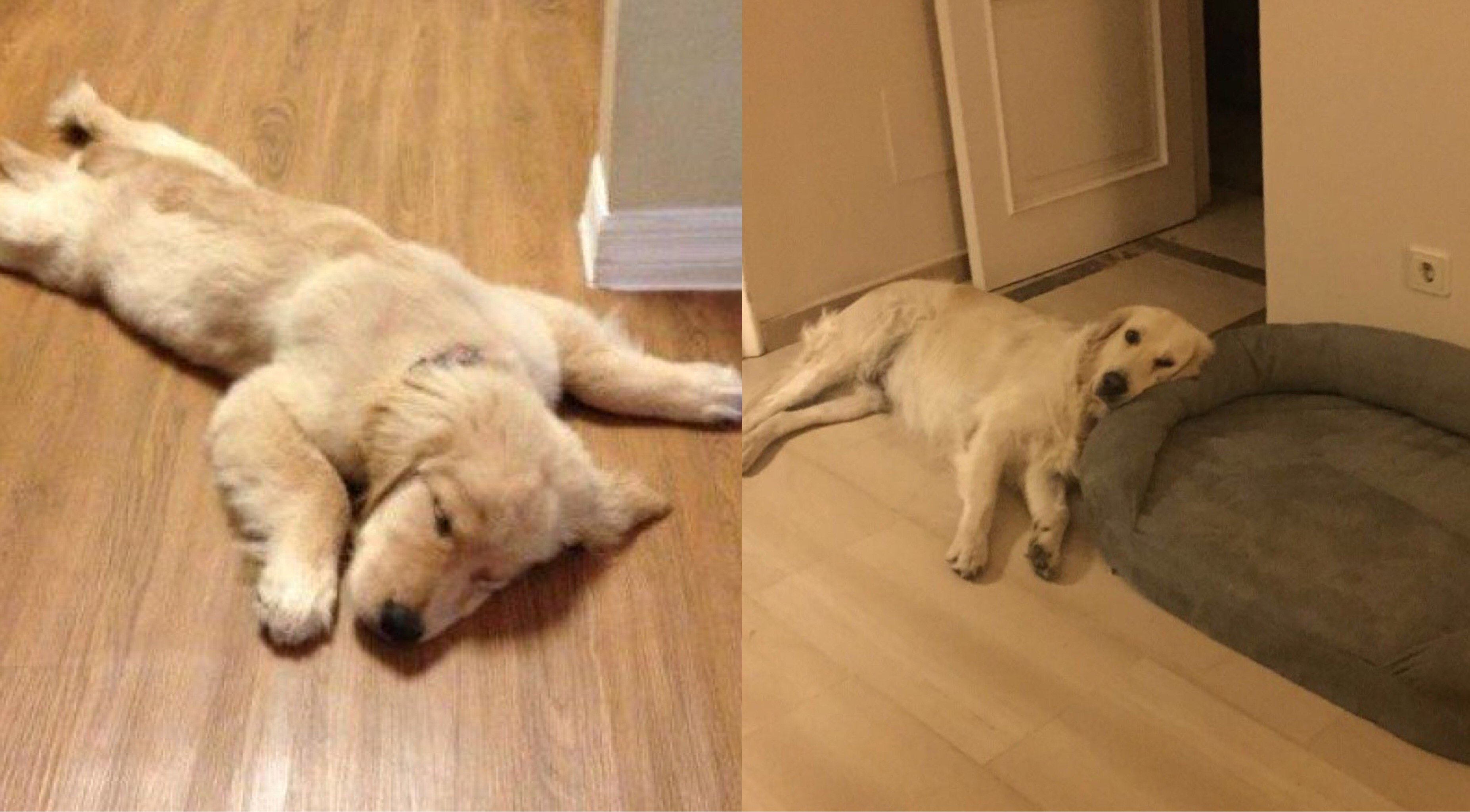 The Position Your Golden Retriever Sleeps Tells You A Lot About Them Here Are 7 Positions And Its Meaning